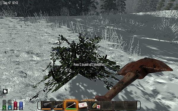 Blaubeeren können im schneebedeckten Wald gesammelt werden!