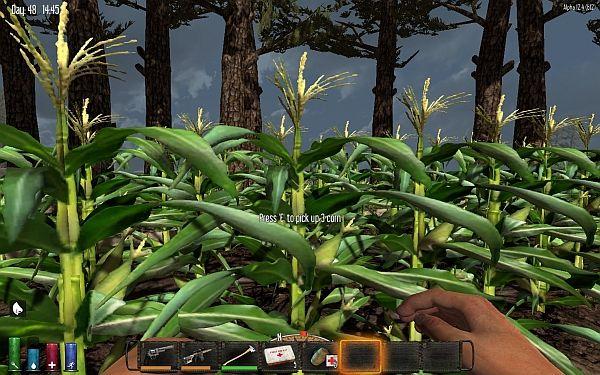 Maispflanzen immer von oben abernten!